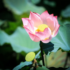 Pink Lotus under the sunshine