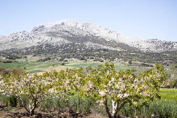Plantación de cerezos en Axarquía.España