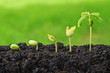 Leinwanddruck Bild - Sequence of seed germination on green background