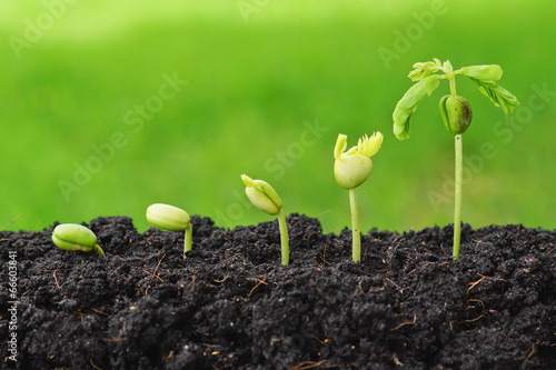 Tuinposter Bomen Sequence of seed germination on green background