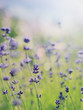 Herbal Garden - flowering lavender in the garden