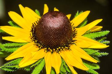 Beautiful yellow rudbeckia closeup