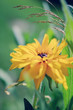 Summer garden - Yellow Rudbeckia in flowers garden