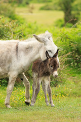 Donkey, mother and newborn foal in grassy field