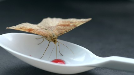 Moth feeding syrup from plastic spoon.