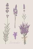 Fototapety lavender hand drawn set vector