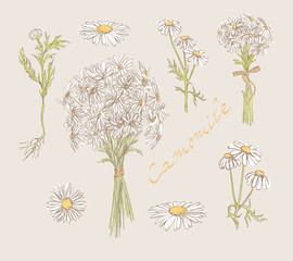 camomile hand drawn set vector