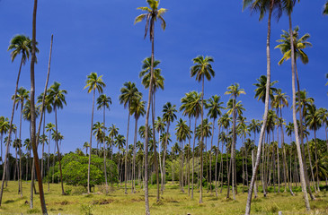 A Palm Tree plantation near Luganville