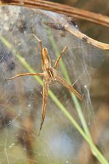 Araignée Pisaura mirabilis