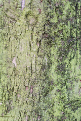 Background texture of natural tree bark with lichen
