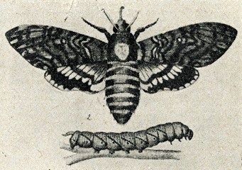 Death's-head Hawk moth (Acherontia atropos)
