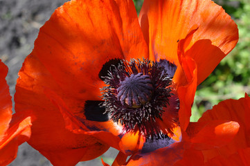 Big red poppies close up.