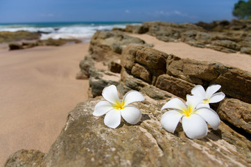 three white frangipani (plumeria) spa flowers on rough stones