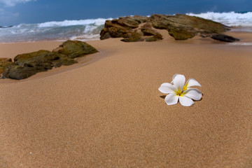 two white frangipani (plumeria) spa flowers on rough stones