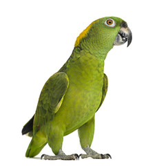 Yellow-naped parrot looking at the camera (6 years old)