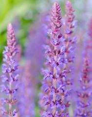 Salvia nemorosa ostfriesland purple flower