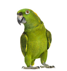 Yellow-naped parrot (6 years old), isolated on white