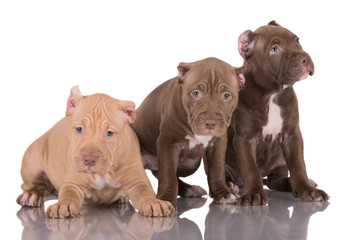 three american pit bull terrier puppies with cropped ears