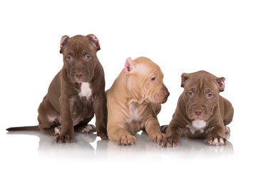 three american pit bull puppies
