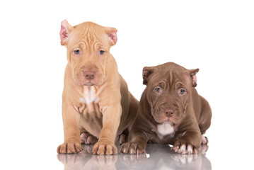 two pit bull puppies with cut ears