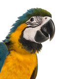Close-up of a Blue-and-yellow Macaw (14 weeks old) isloated on w