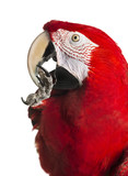 Close-up of a Red-and-green macaw cleaning itself