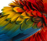 Close-up on a Scarlet Macaw feathers (4 years old) isolated on w