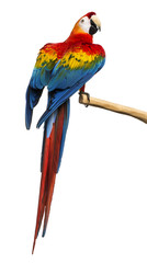 Scarlet Macaw (4 years old) perched on a branch