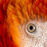 Close-up on a Scarlet Macaw's eye (4 years old) isolated on whit
