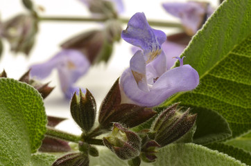 Salvia officinalis Echter Salbei Sauge officinale قصعين طبي
