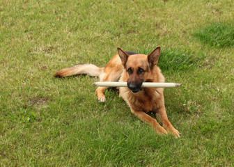 Shepherd breed dog plays on green grass with a wooden stick