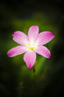 pink Zephyranthes Lily