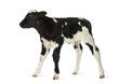 Belgian blue calf isolated on white