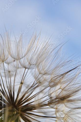 dandelion-przeciw-niebu
