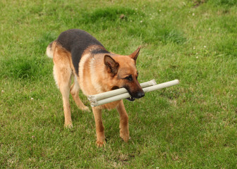 German Shepherd breed dog plays on grass with wooden stick