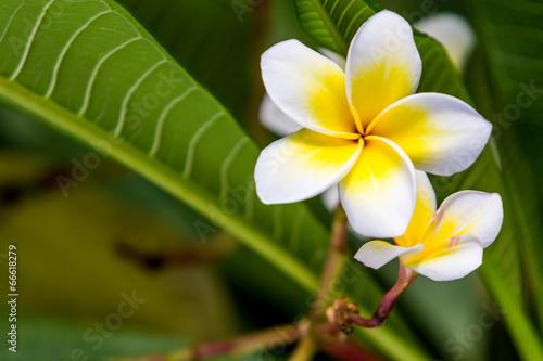 In de dag Frangipani Plumeria or frangipani.