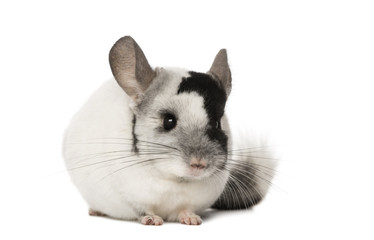 Chinchila, isolated on a white background