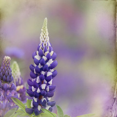 garden lupin background