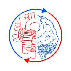 Heart, brain and blood circulation