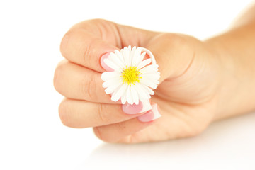 White chrysanthemum with woman's hand on white background