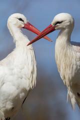 Weißstorchenpaar
