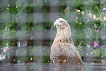 Eagle in cage at zoo