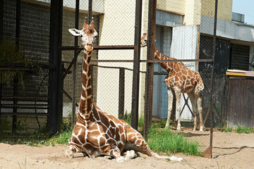 Giraffes in zoo