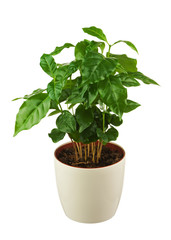 Coffee tree (Arabica Plant) in flower pot isolated on white back