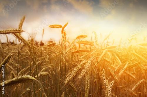 Tuinposter Planten golden wheat field and sunset