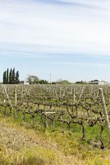 Uruguayan wine grapevines