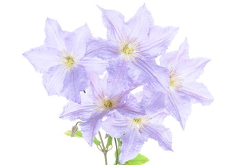 Violet clematis flowers isolated on white background