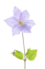 Single clematis flower isolated on white background