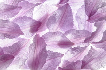 Clematis violet petals as background