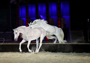 Beautiful lusitano horses jumping